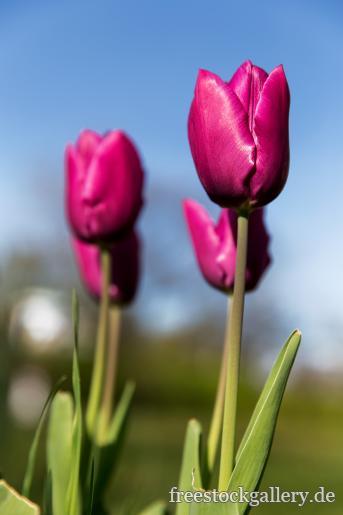 lila tulpen in der natur. Black Bedroom Furniture Sets. Home Design Ideas