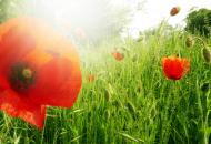 Roter Klatschmohn in der Natur - gratis Bild Download