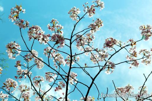 Weiße Blüten am Baum mit türkisen Himmel - gratis Foto zum Download