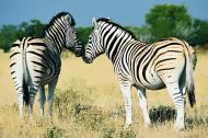 Zwei Zebras in der Savanne - Foto zum Download